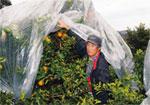 中晩柑の木熟出荷